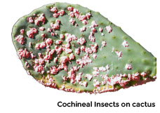 chocineal-insects