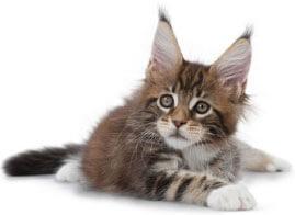 baby-kitten