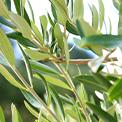 10-olive_leaf