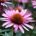 4-Echinacea